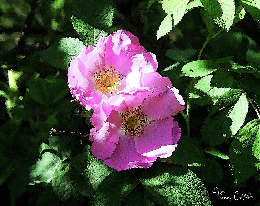 Wild Rose Blossoms by Thomas Colstad