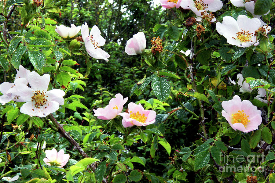 Briar Photograph - Wild Rose (rosa Canina) by Dr Keith Wheeler/science Photo Library