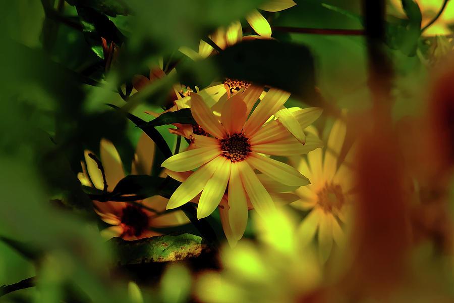 Sunflower Photograph - Wild Sunflower by Brad Chambers