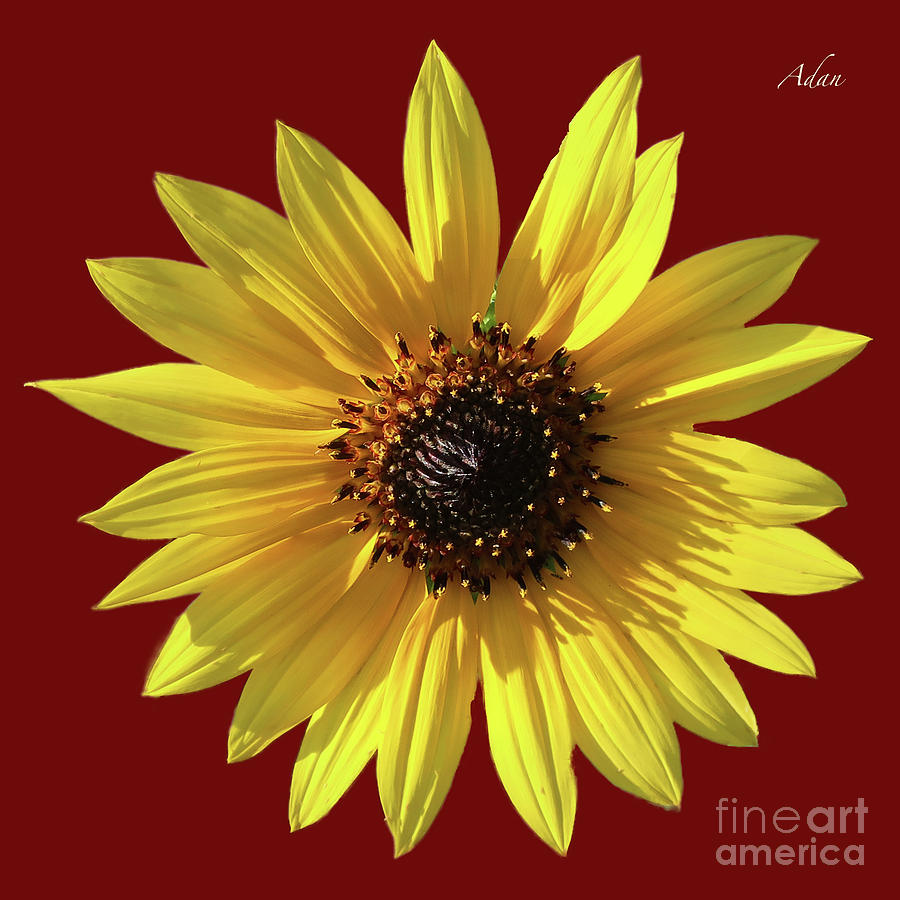 Wild Sunflower by Felipe Adan Lerma