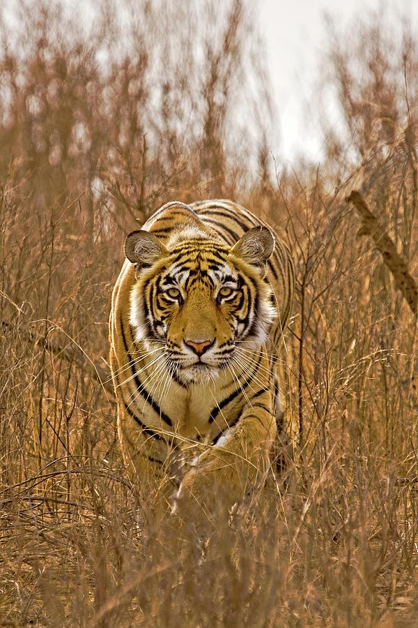 Wild Tiger Photograph by Aditya Singh
