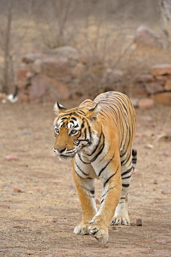 Wild Tiger In Ranthambore Photograph by Aditya Singh