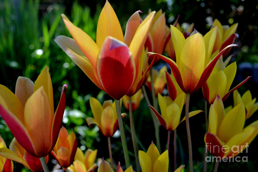 Wild Tulips by Diane montana Jansson