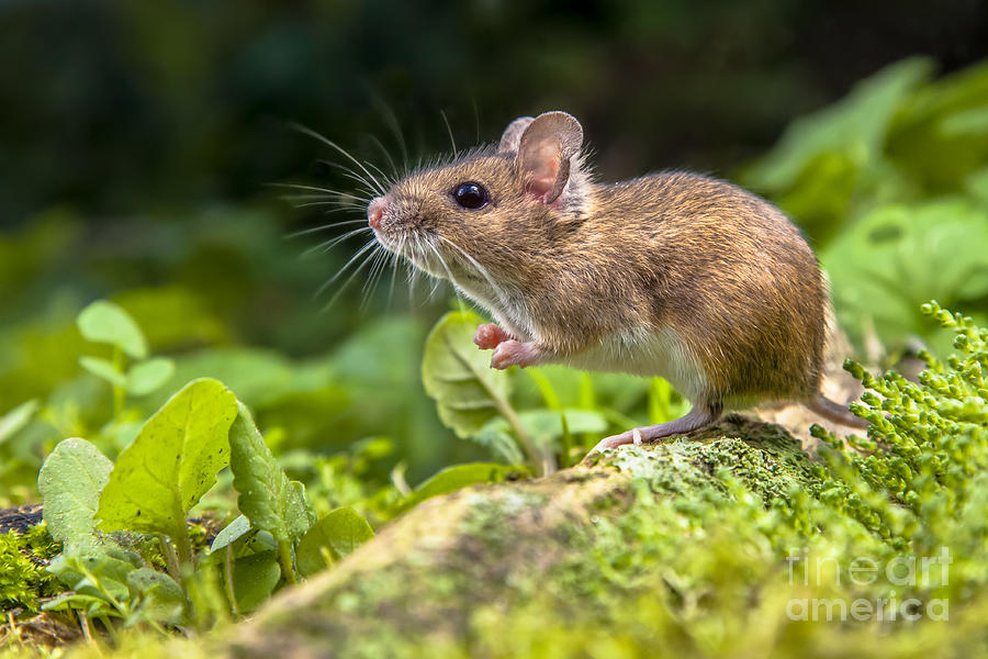 German Photograph - Wild Wood Mouse Resting On The Root Of by Rudmer Zwerver