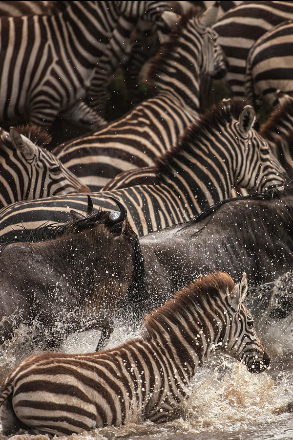 Wildebeest And Zebras Crossing River Photograph by Manoj Shah