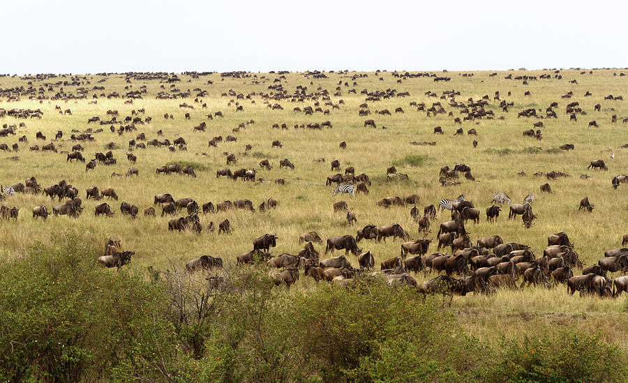 Wildebeest In The Plains Of Masai Mara Photograph by Richmatts