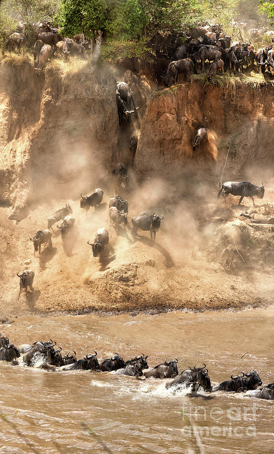 Wildebeest jump from the banks of the Mara  by Jane Rix