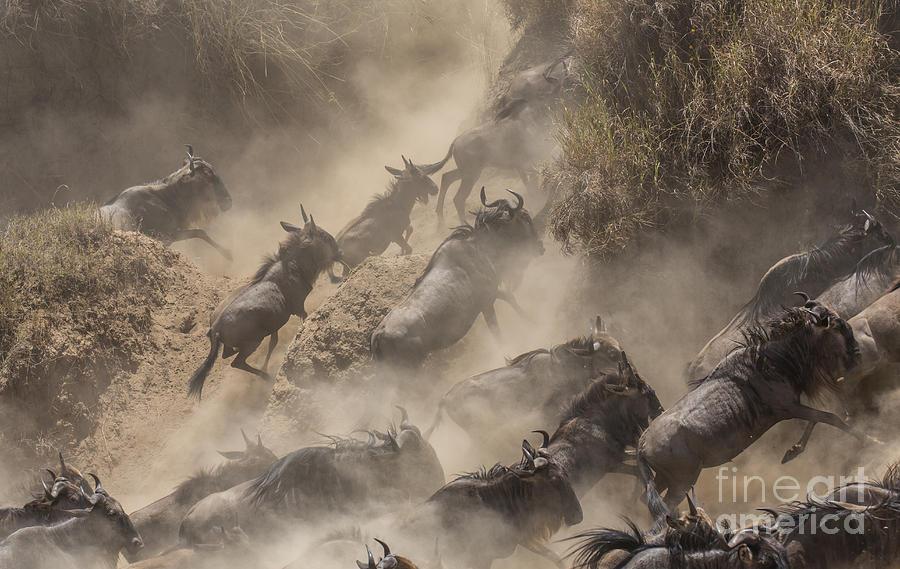 Tanzania Photograph - Wildebeests Mara Crossing by Alexey Osokin
