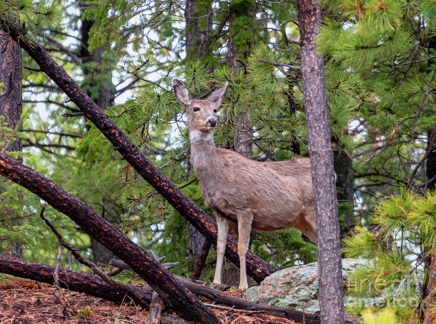 Wilderness Mule Deer Portrait Photograph