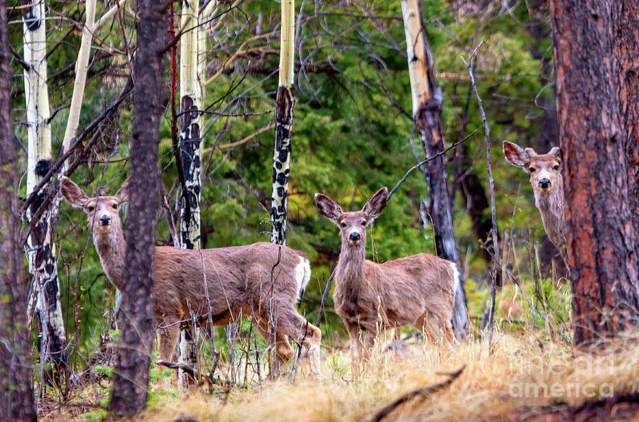 Wilderness Mule Deer Photograph