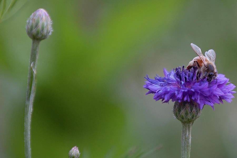 Bee Photograph - Wildflower Friend by John Heywood