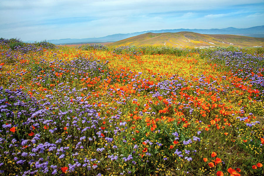Wildflower Sea - Superbloom 2019 by Lynn Bauer