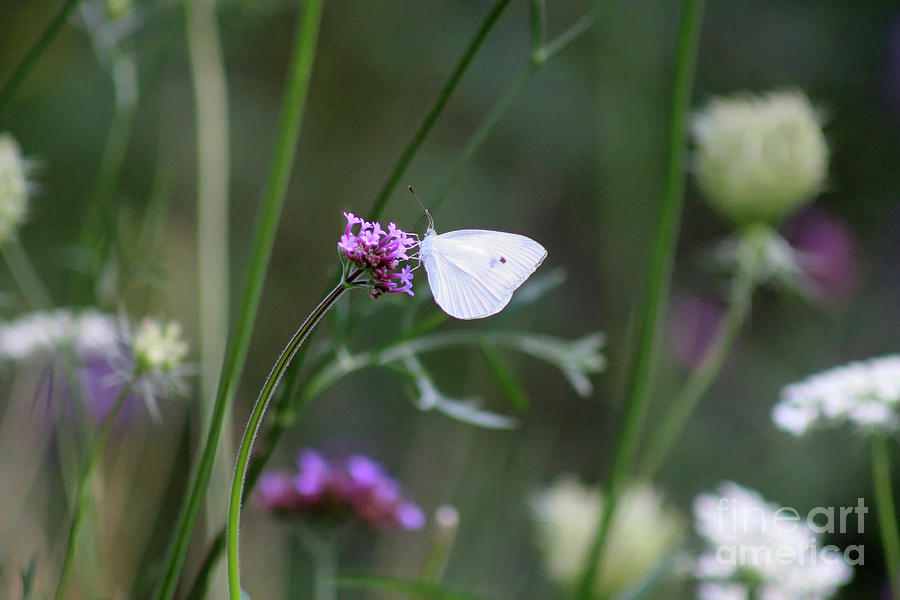 Cabbage White Butterfly Photograph - Wildflowers And Cabbage White Butterfly by Karen Adams