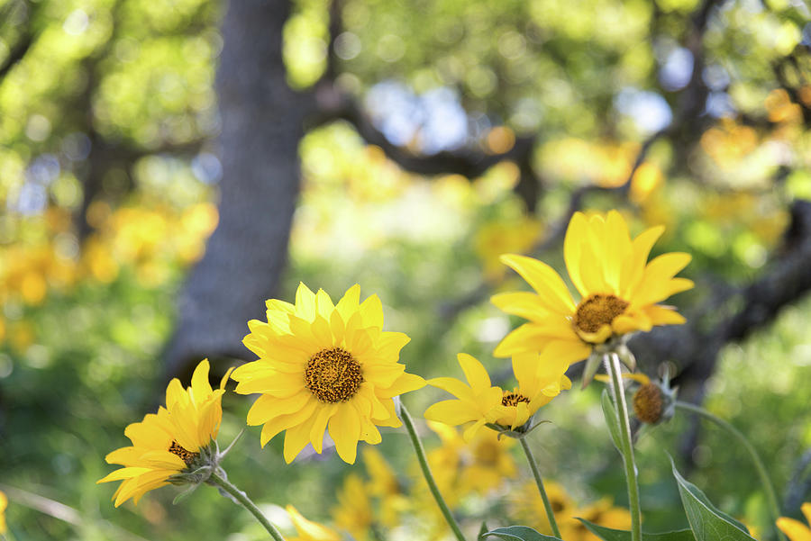 Wildflowers-Balsamroot by Johanna Froese