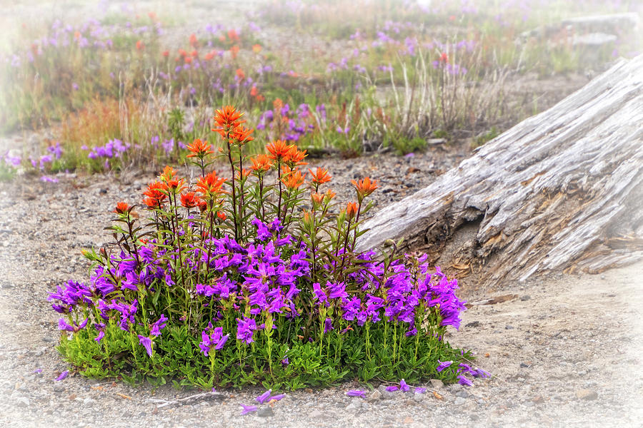 Wildflowers on Mount St Helens by Carolyn Derstine