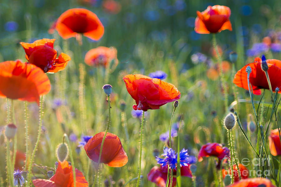 Beauty Photograph - Wildflowers Poppies by Mike Mareen