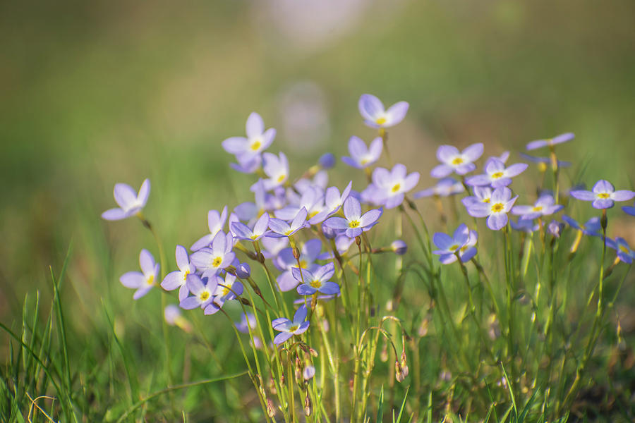 Wildflowers Thyme leaf bluets by Rima Biswas