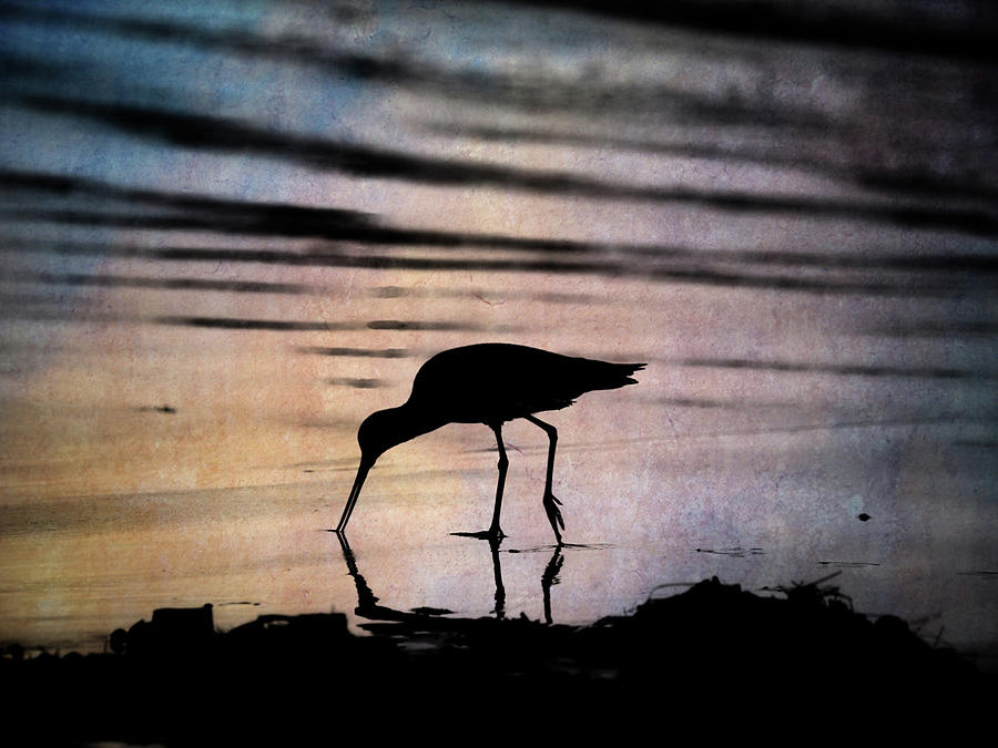 Willet Photograph - Willet at Sunset by John Rodrigues