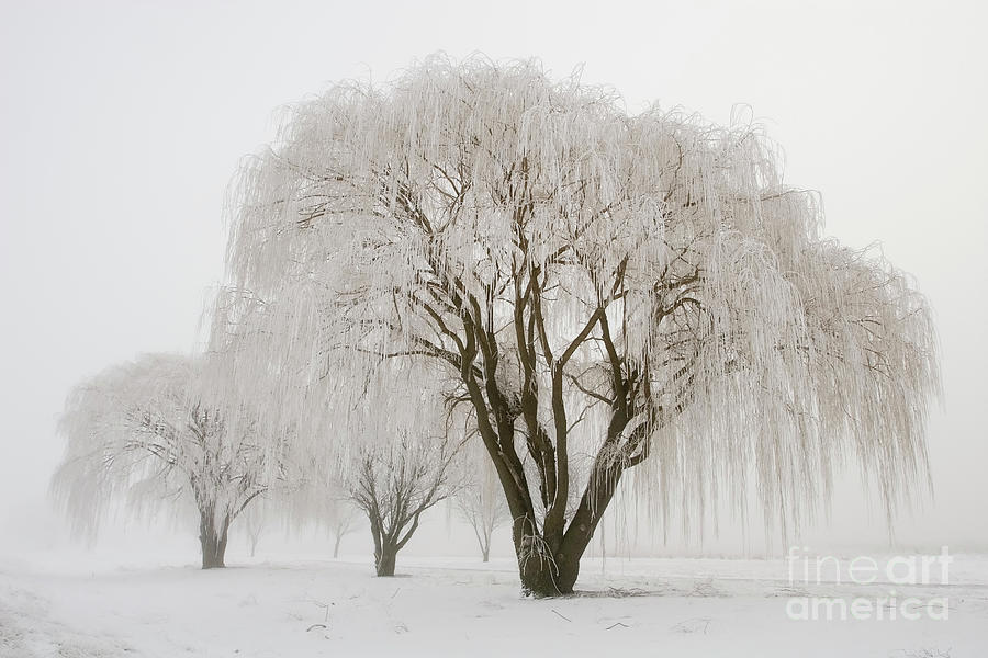 Willow Trees In Winter Photograph by Stevegeer