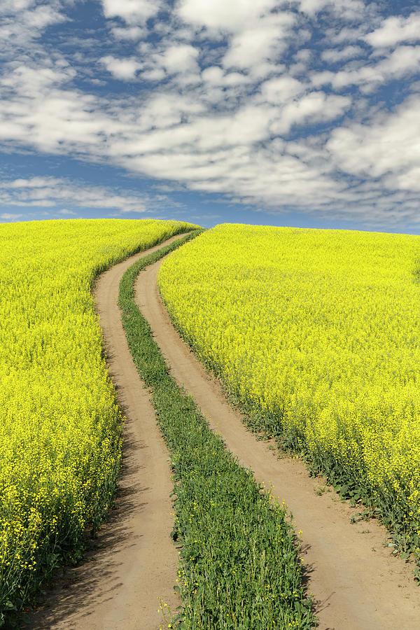 Adam Jones Photograph - Winding Dirt Road Through Yellow Field by Adam Jones