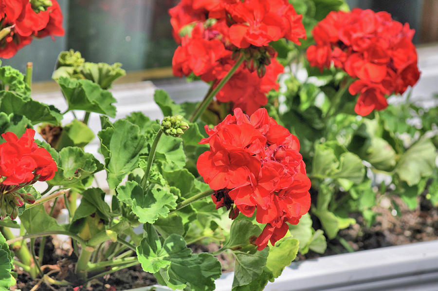 Red Photograph - Windowbox by JAMART Photography