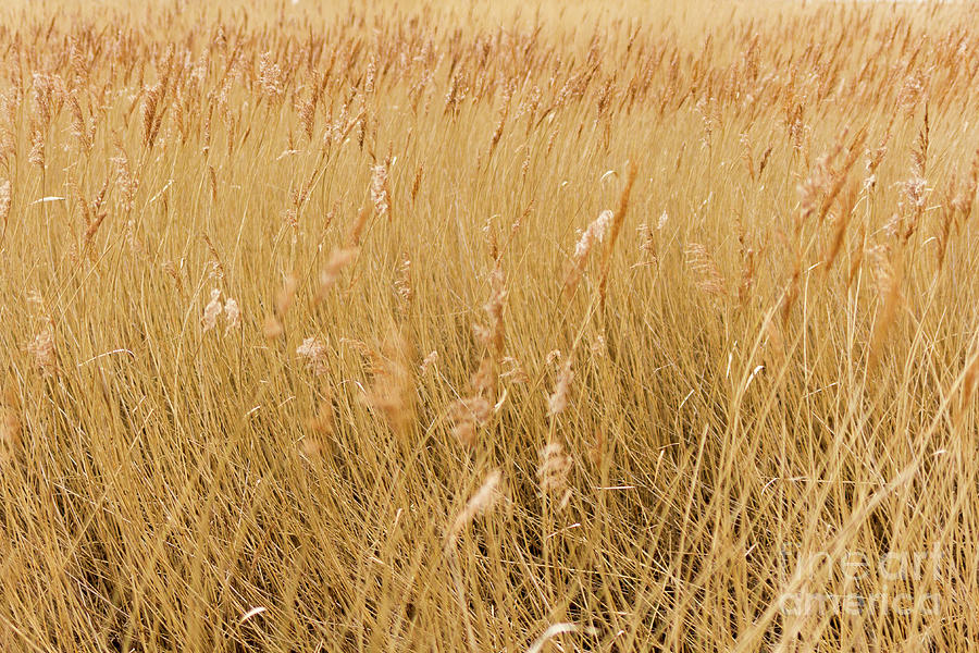 Windswept Grass by Tanya C Smith