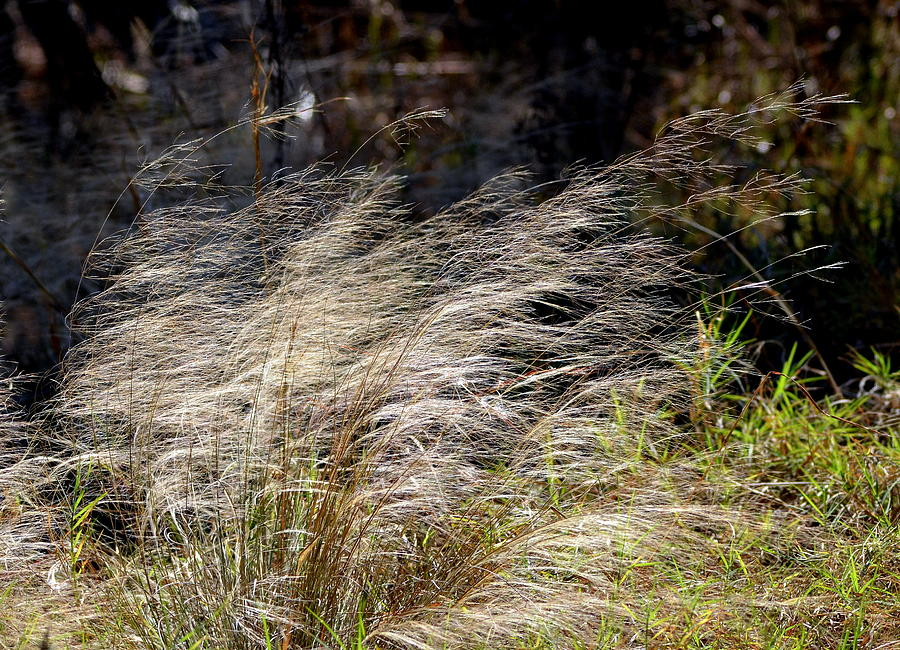 Windswept Grasses by Carla Parris