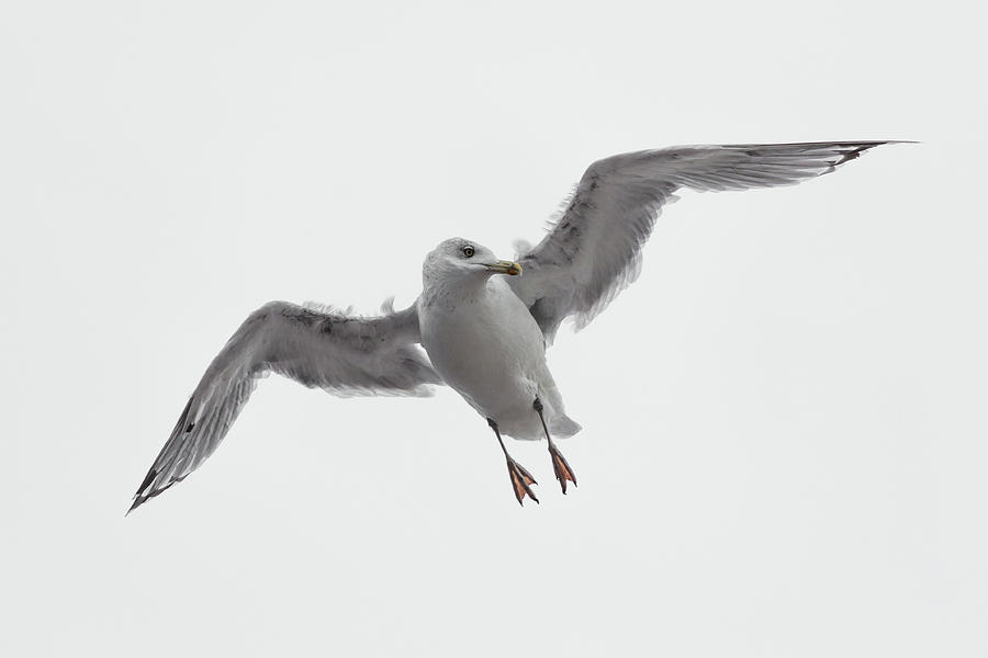 Windswept Gull by John Daly