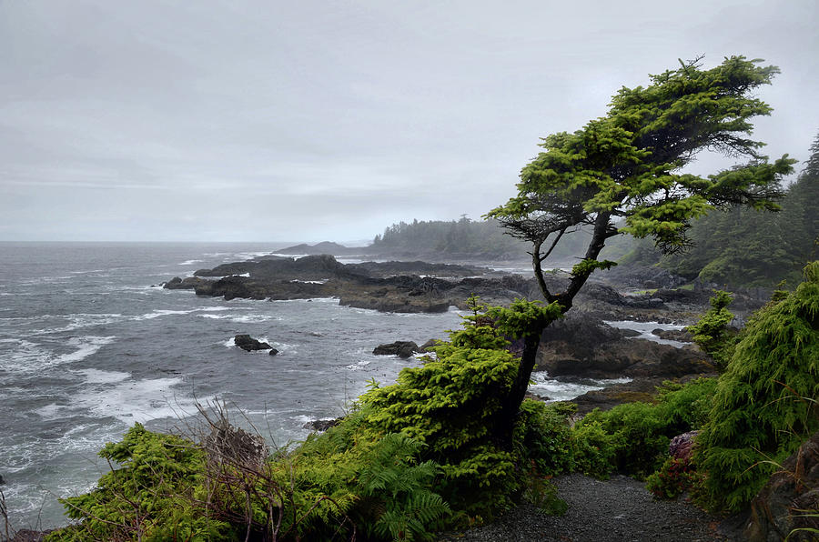 Windswept Spruce along the Wild Pacific Trail by SCENIC EDGE PHOTOGRAPHY