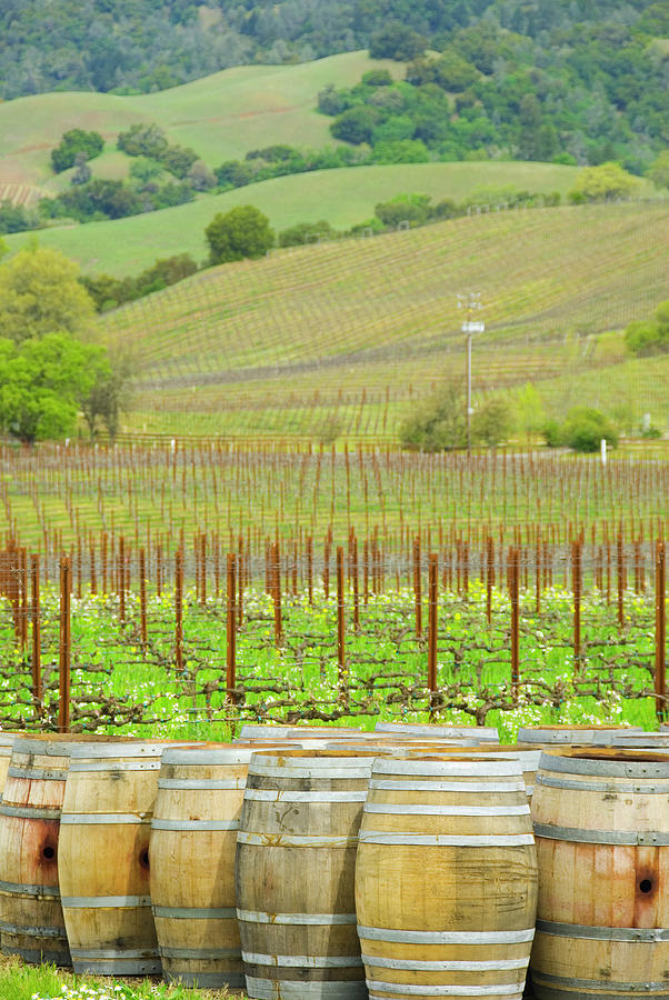 Wine Barrels At The Spring Time Vinyard Photograph by Alina555
