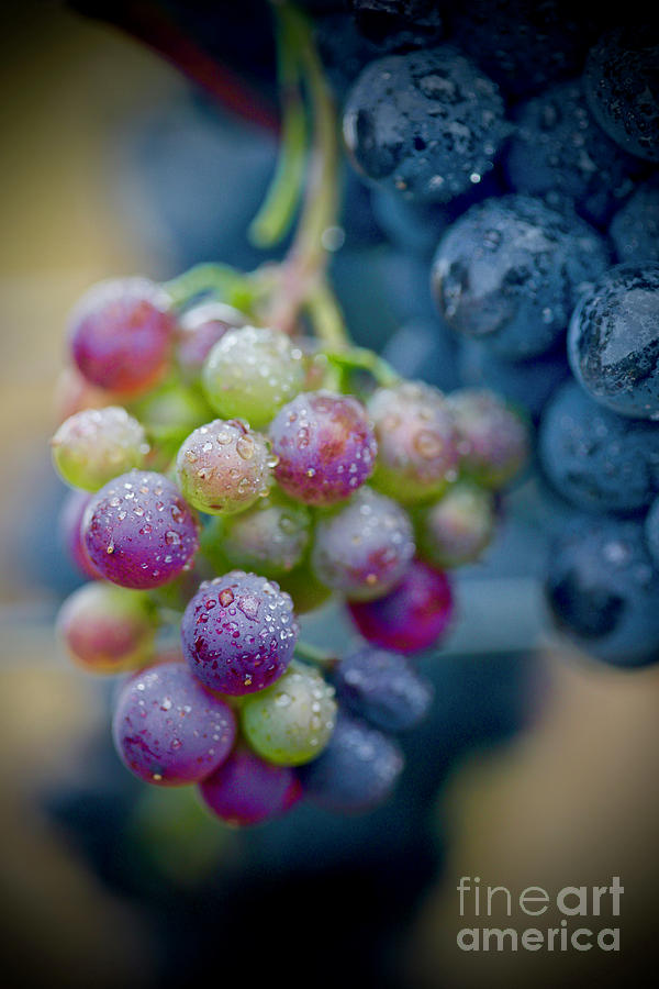 Vineyard Photograph - Wine Time Close Up  by American School