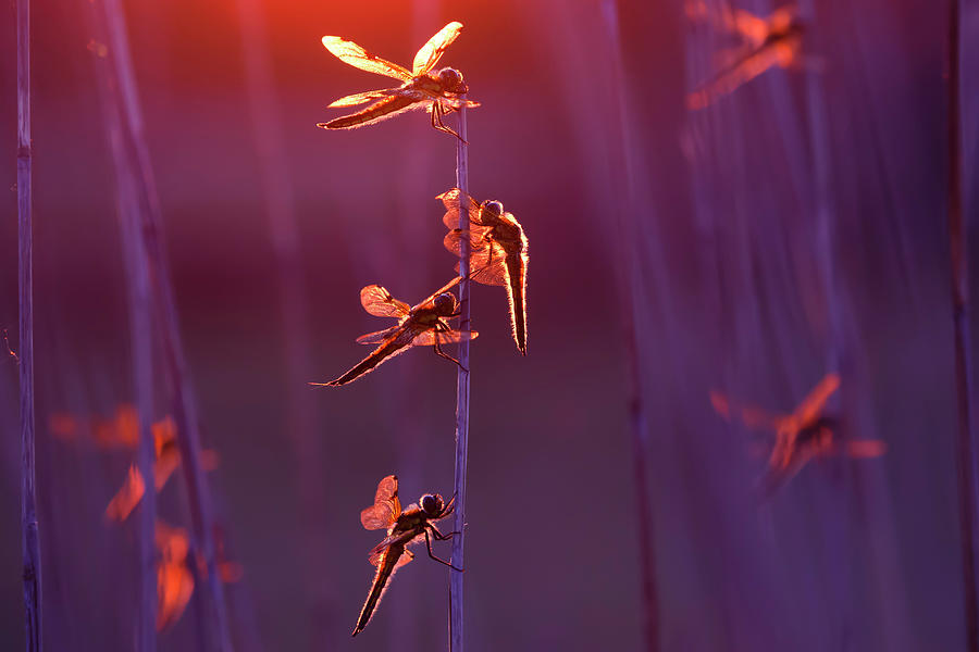 Libellula Quadrimaculata Photograph - Winged Wonders - Dragonflies At Sunset by Roeselien Raimond