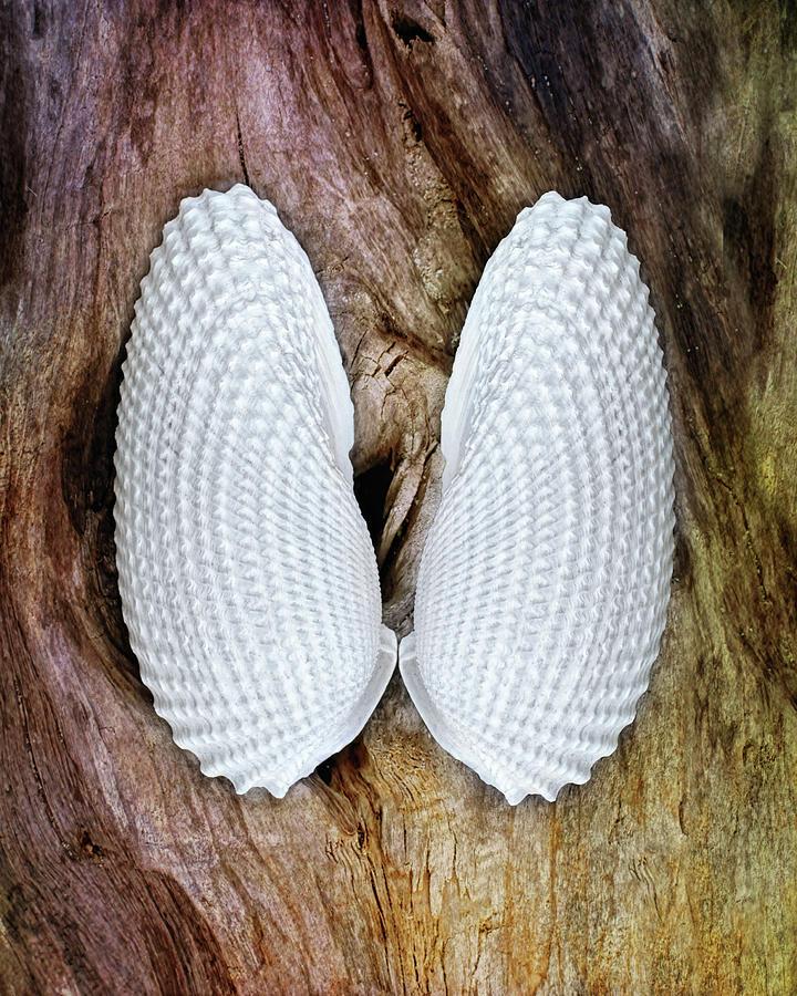 Wings of Angels Seashells by Kathi Mirto