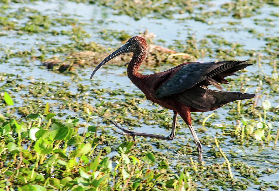 Glossy Ibis Photograph - Wings Spread by Norman Johnson