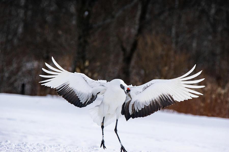 Wings wide spread - red-crowned crane - Hokkaido, Japan by Ellie Teramoto