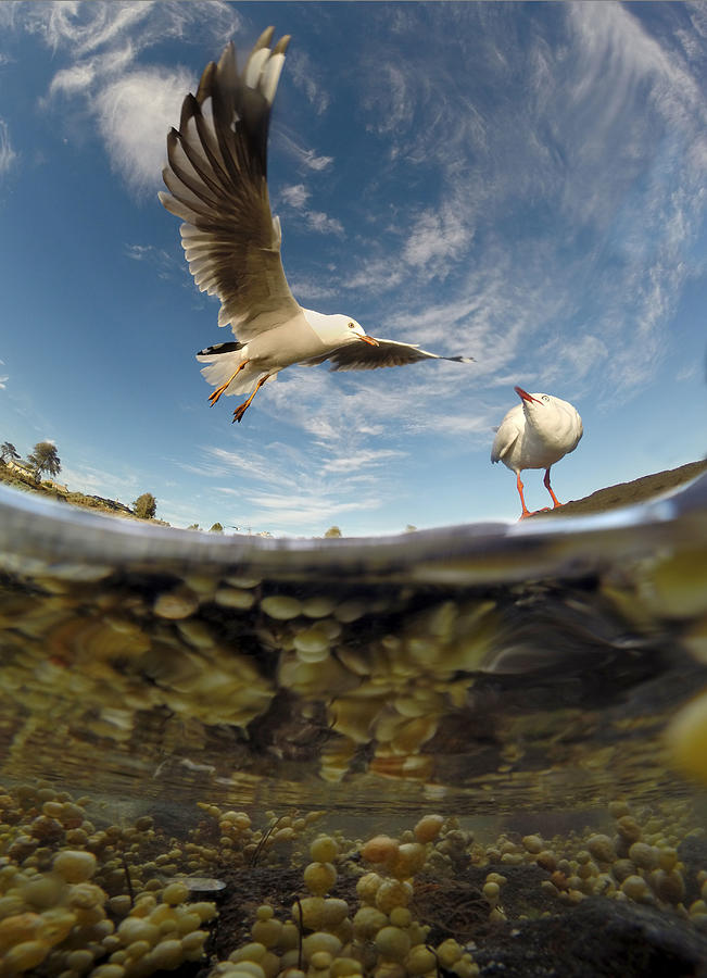 Seagull Photograph - Wingspan by David Bignell