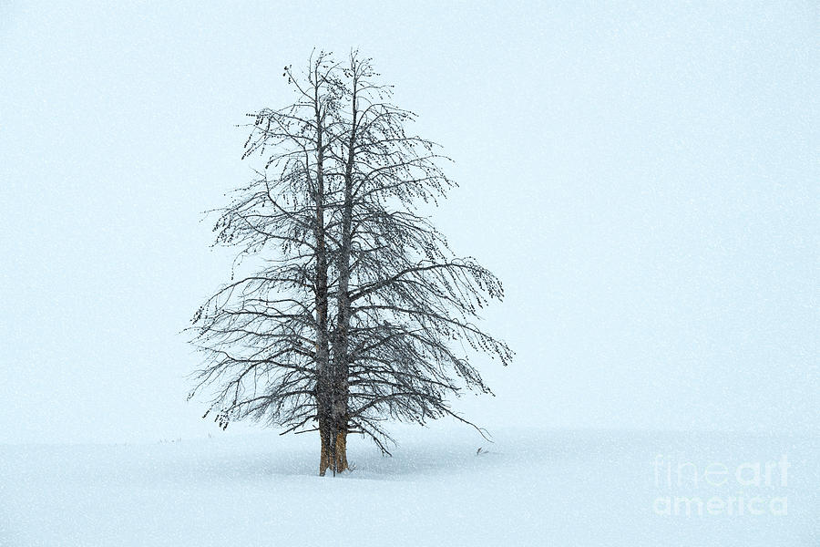 Winter Beauty - Yellowstone National Park by Sandra Bronstein