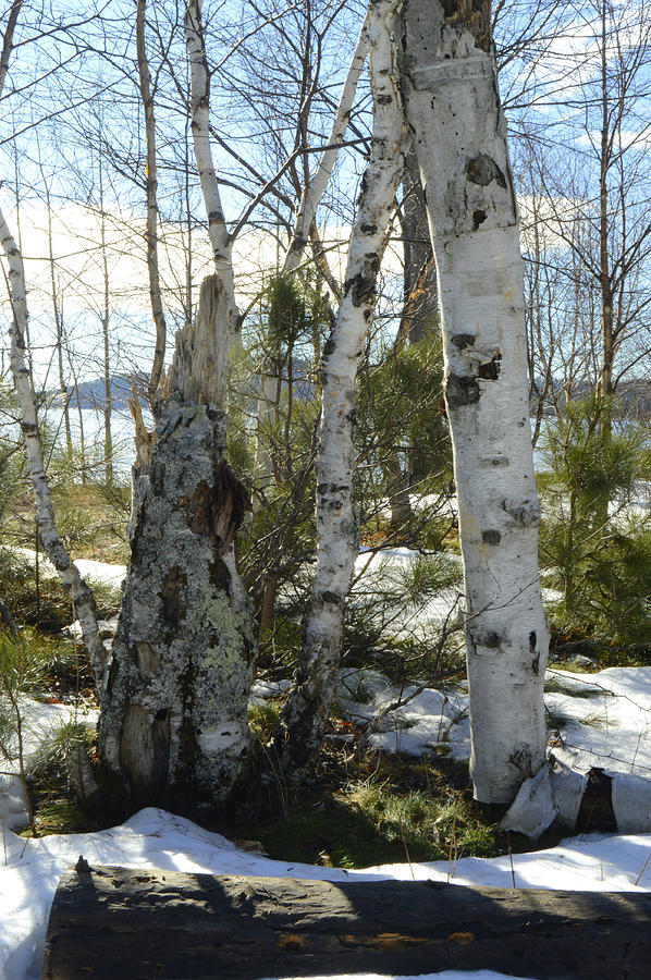 Winter Birch by Tom Kelly