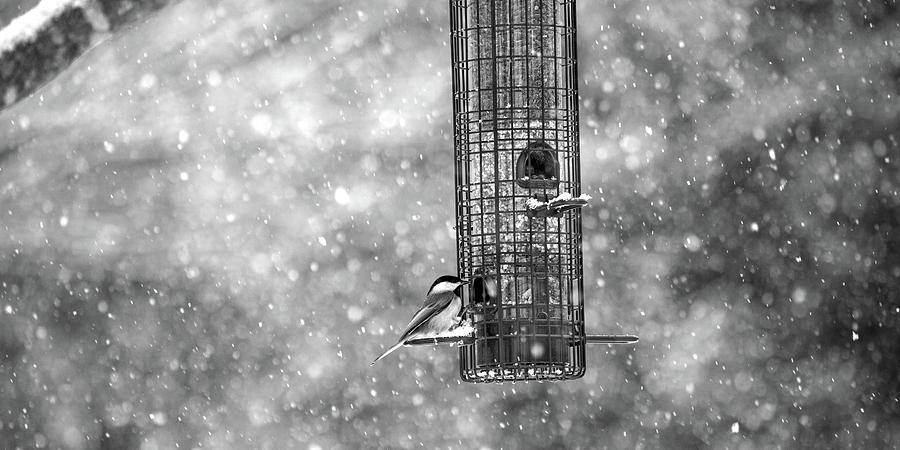 Bird Photograph - Winter Blessing Chickadee by Betsy Knapp