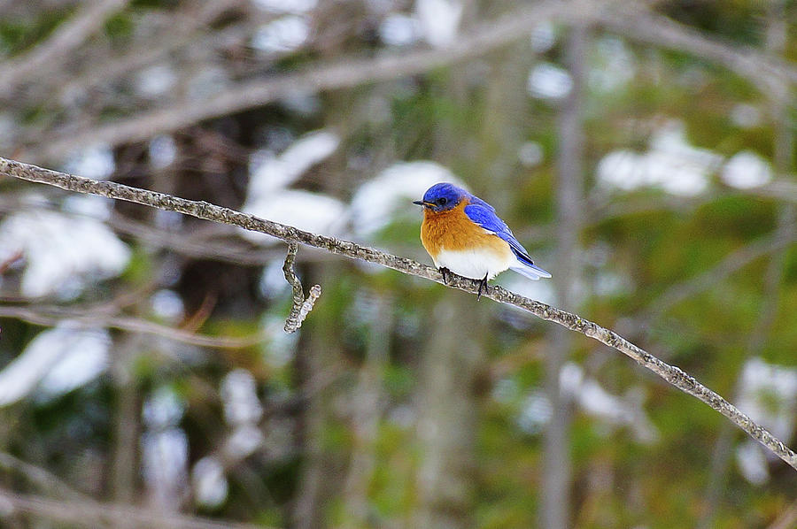 Bird Photograph - Winter Blue by Rockybranch Dreams