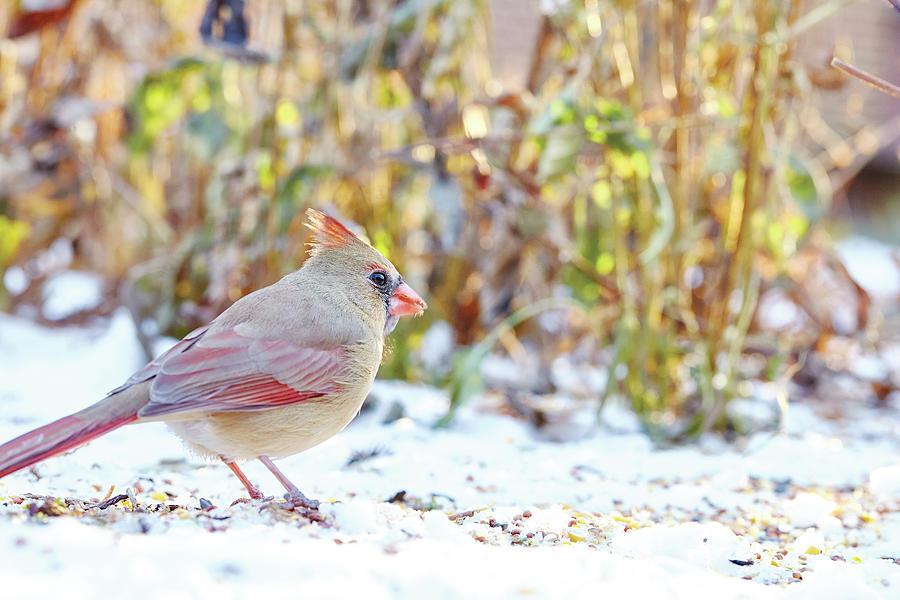 Winter Cardinal by Garden gate magazine