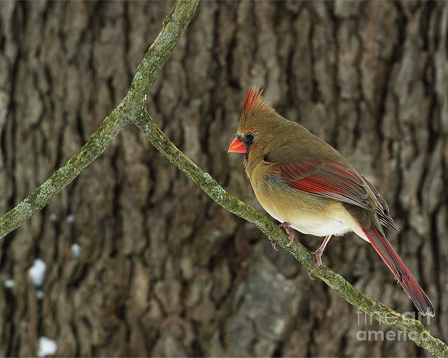 Winter Cardinal by James Guilford