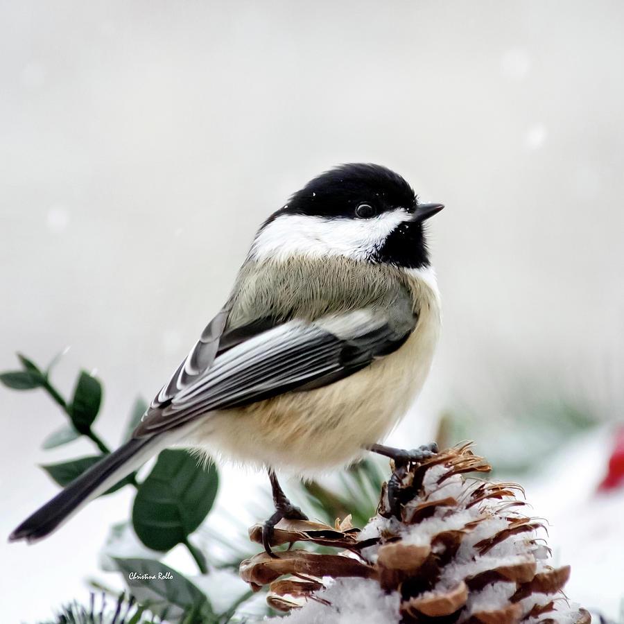 Winter Chickadee Square Photograph