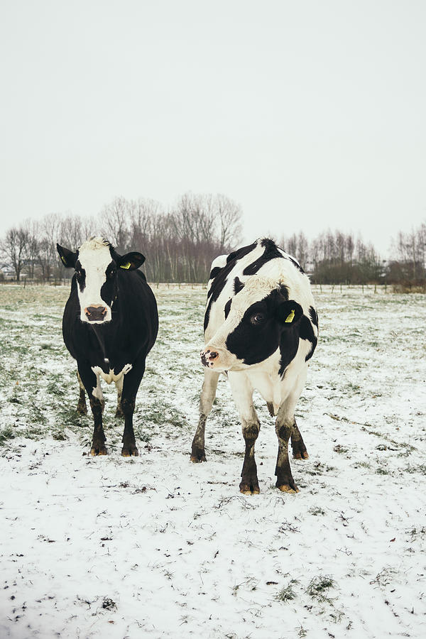 Winter Cows by Pati Photography