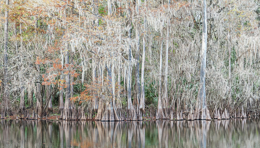 Winter Cypress by Steven Sparks