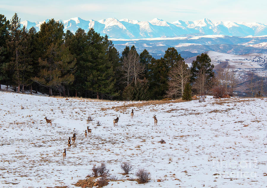 Winter Deer Herd Photograph