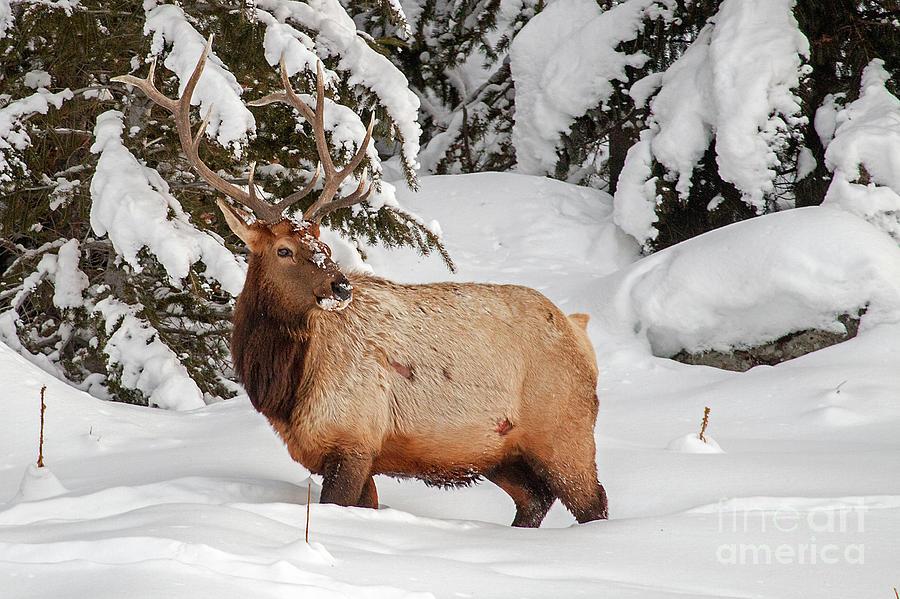 Winter Elk Portrait by Sonya Lang