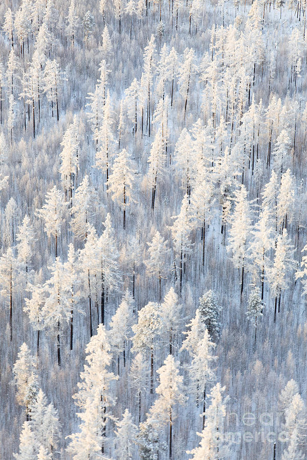 Country Photograph - Winter Forest With Frosty Trees Aerial by Vladimir Melnikov