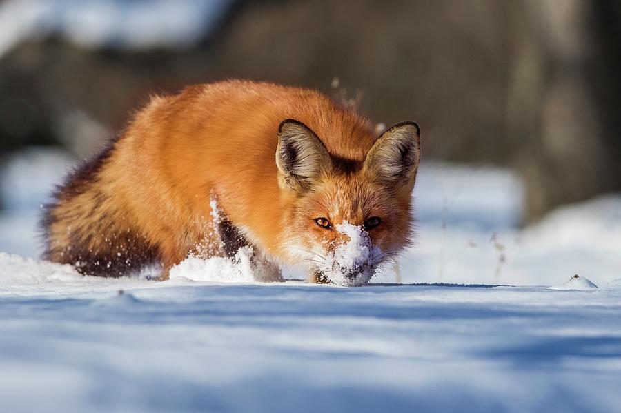 Winter Fox by Mircea Costina Photography