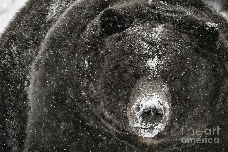 Winter Grizzly by Brad Allen Fine Art